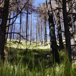 arizona-mount-lemon-trees